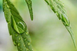 cannabis-1062904_640
