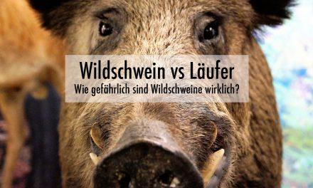 Sind Wildschweine für Läufer und Jogger gefährlich?